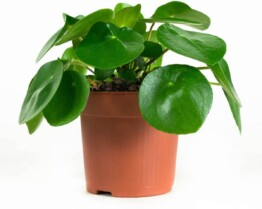 Pilea peperomioides planta interior
