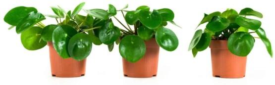 Pilea peperomioides planta interior pack de 3