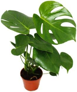 Monstera Costilla de Adan planta natural