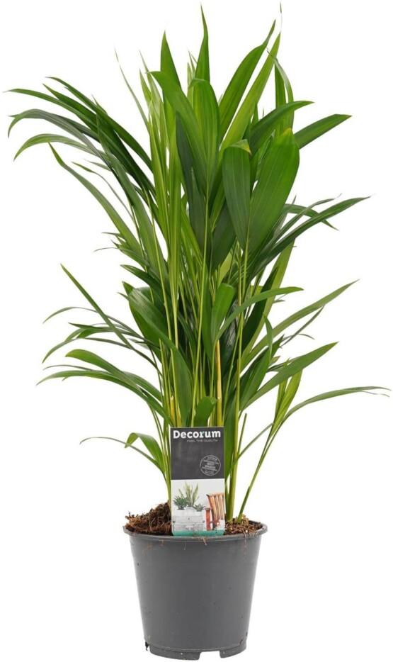 Palma areca planta natural