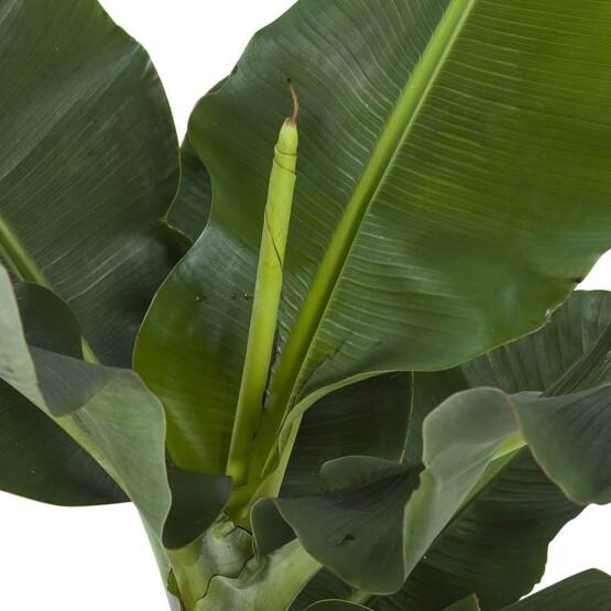 Musa planta platanera natural