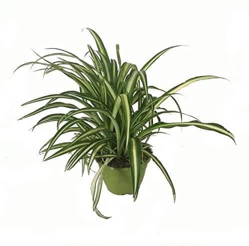 Cinta planta natural interior